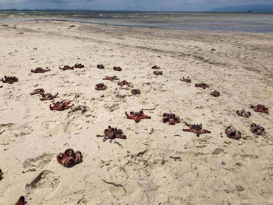 sao bien phu quoc anh 1  - 165644376_10159294793153874_4897141449129934817_n - Cảnh sao biển chết khô ở Phú Quốc