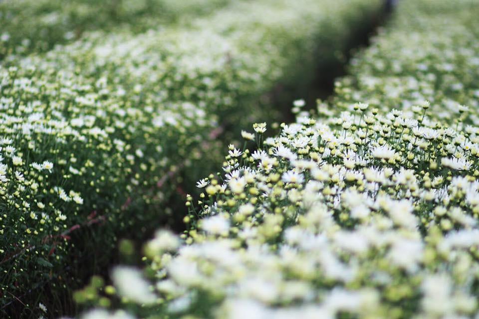 Xuyen xao mua cuc hoa mi don dong ve giua long Ha Noi hinh anh 11