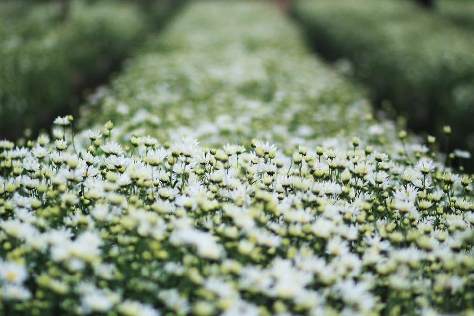 Xuyen xao mua cuc hoa mi don dong ve giua long Ha Noi hinh anh 2