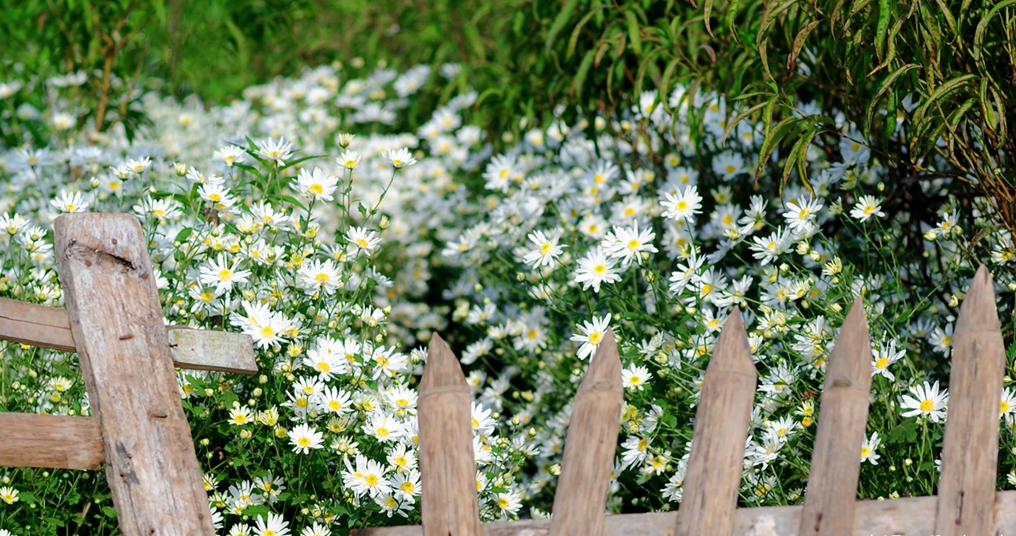 Xuyen xao mua cuc hoa mi don dong ve giua long Ha Noi hinh anh 13