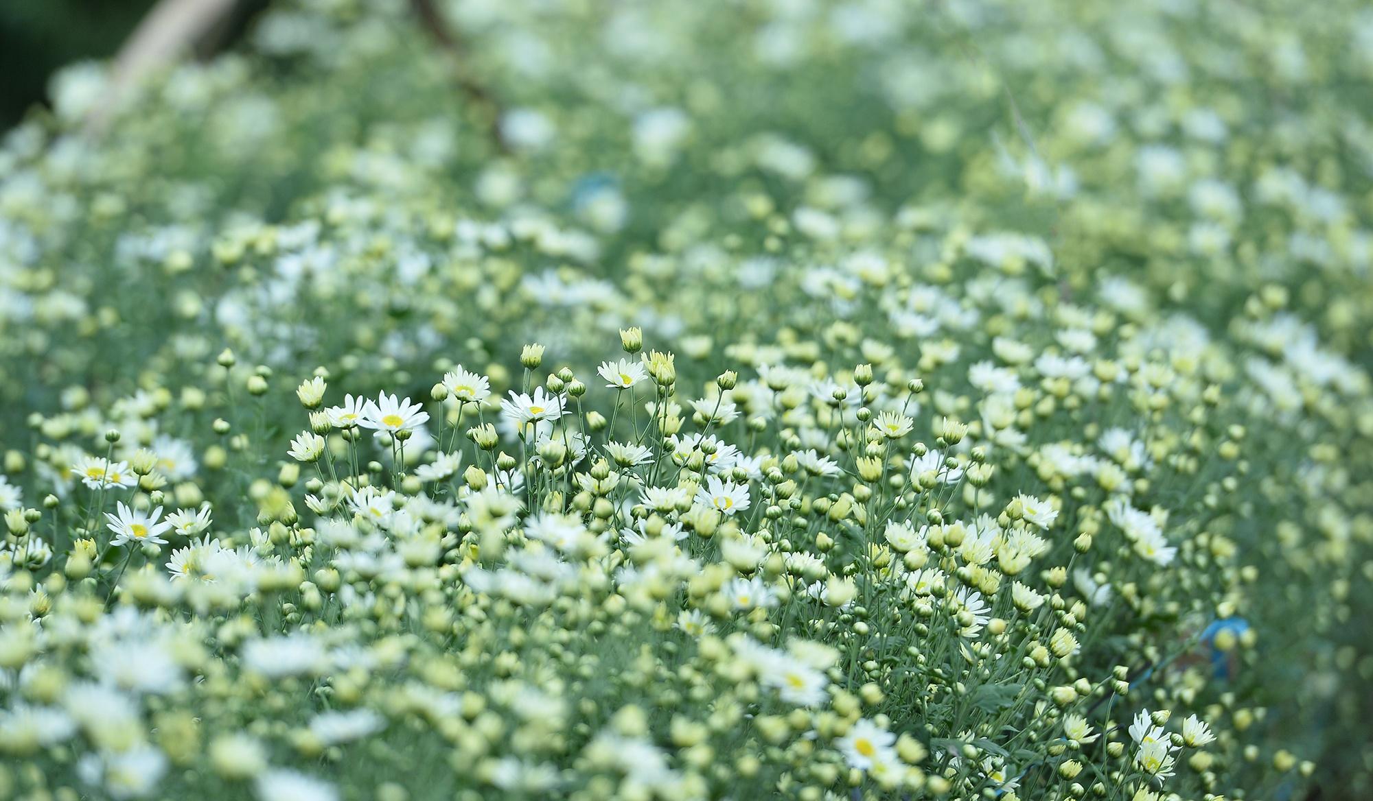 Xuyen xao mua cuc hoa mi don dong ve giua long Ha Noi hinh anh 14