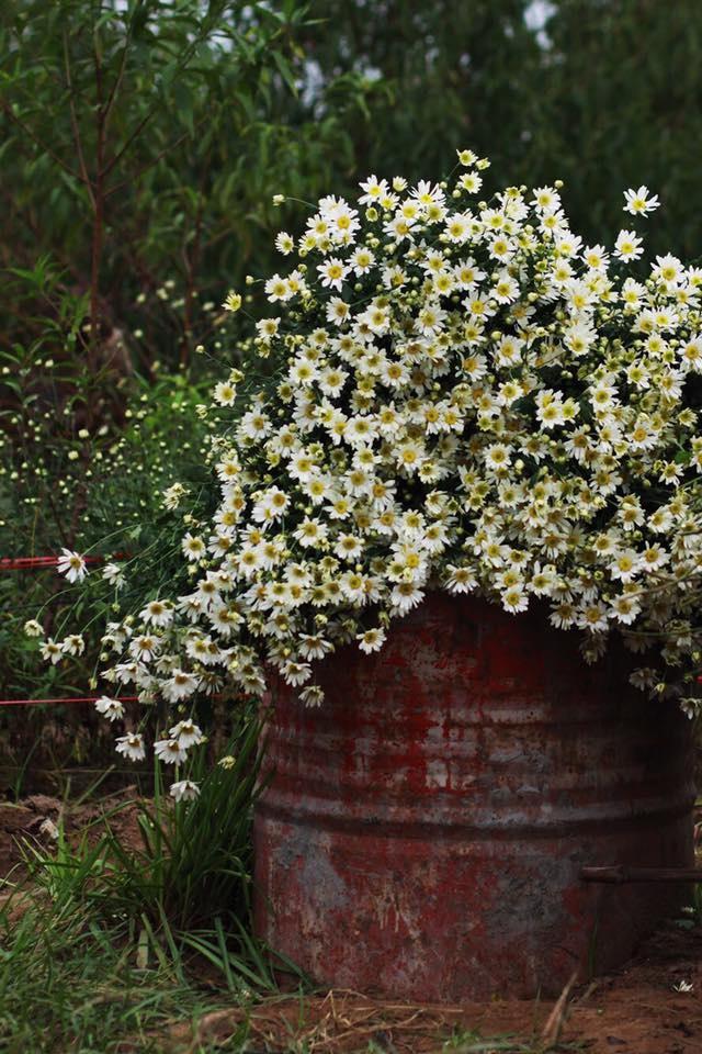 Xuyen xao mua cuc hoa mi don dong ve giua long Ha Noi hinh anh 4