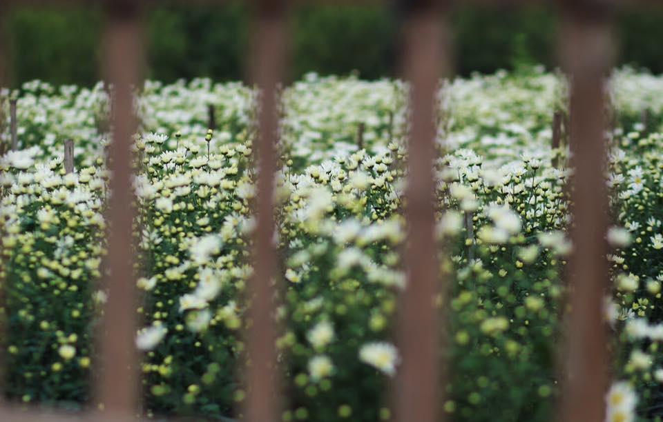 Xuyen xao mua cuc hoa mi don dong ve giua long Ha Noi hinh anh 7