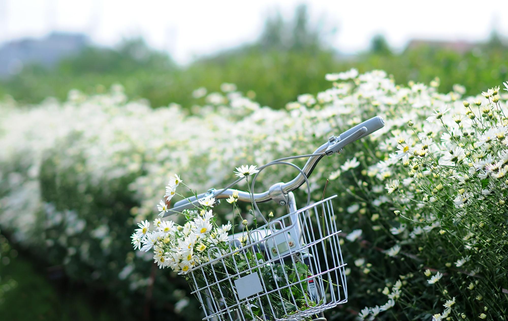 Xuyen xao mua cuc hoa mi don dong ve giua long Ha Noi hinh anh 31