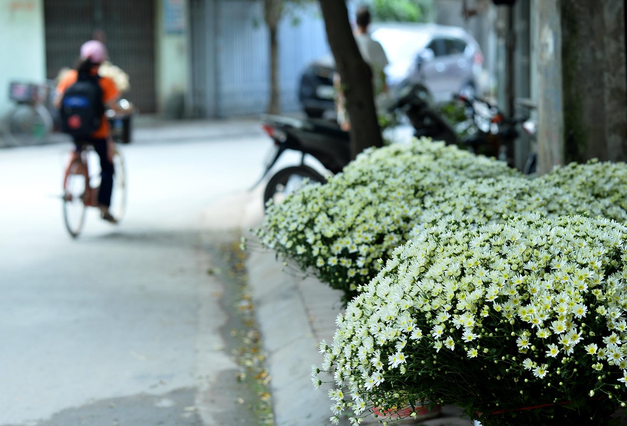 Xuyen xao mua cuc hoa mi don dong ve giua long Ha Noi hinh anh 37