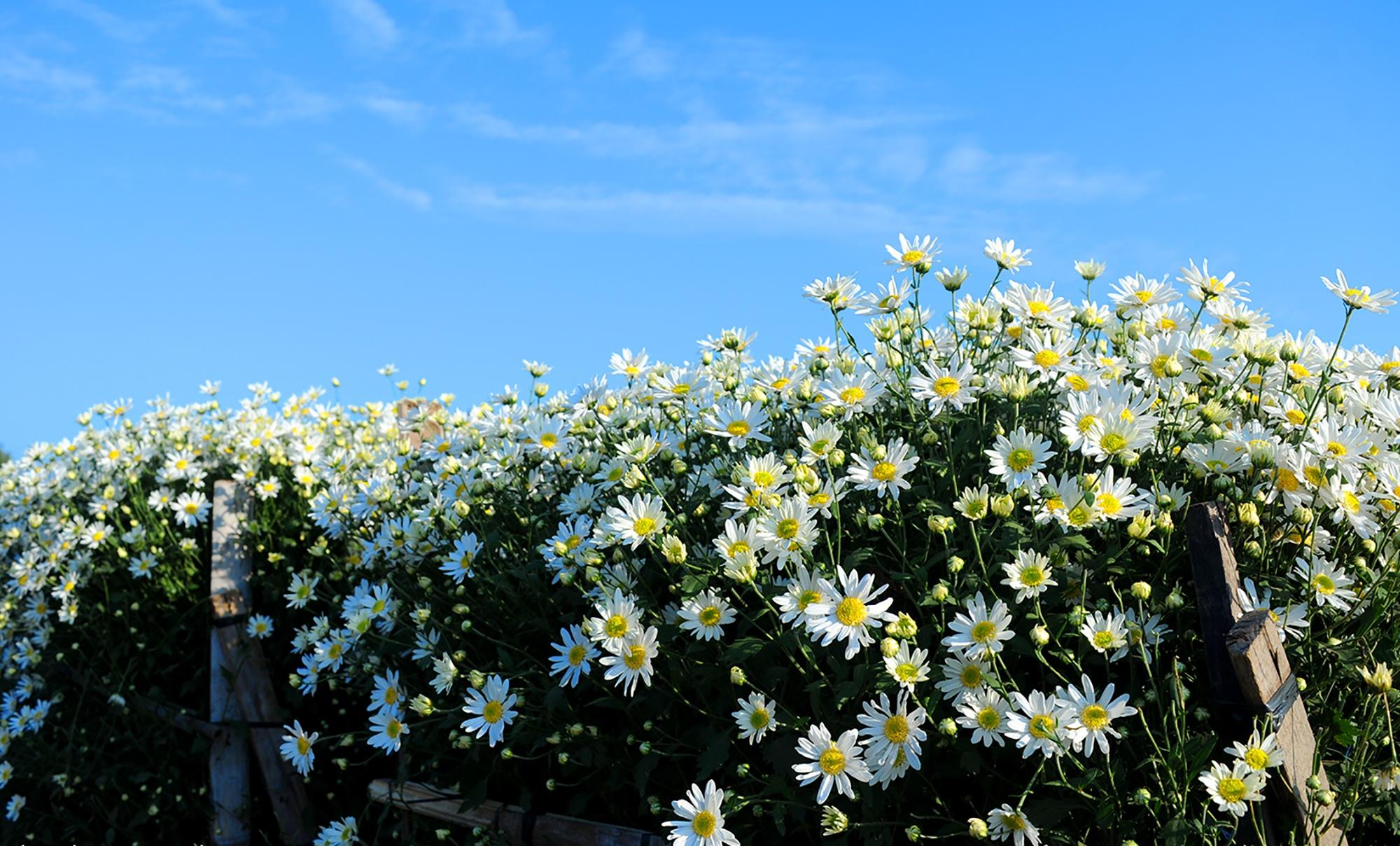 Xuyen xao mua cuc hoa mi don dong ve giua long Ha Noi hinh anh 41