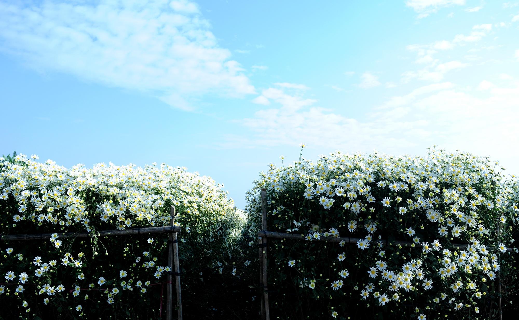 Xuyen xao mua cuc hoa mi don dong ve giua long Ha Noi hinh anh 23