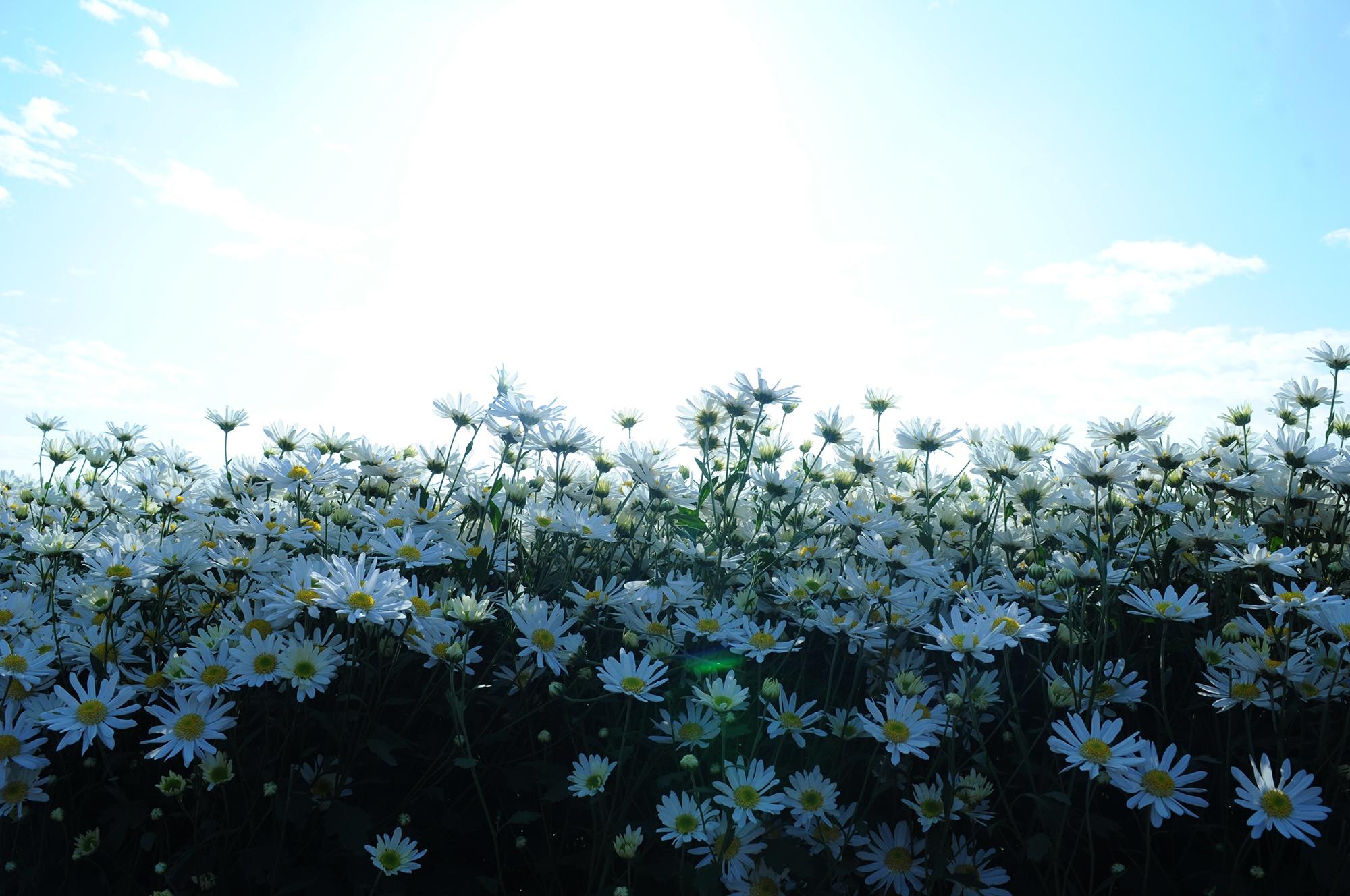 Xuyen xao mua cuc hoa mi don dong ve giua long Ha Noi hinh anh 24