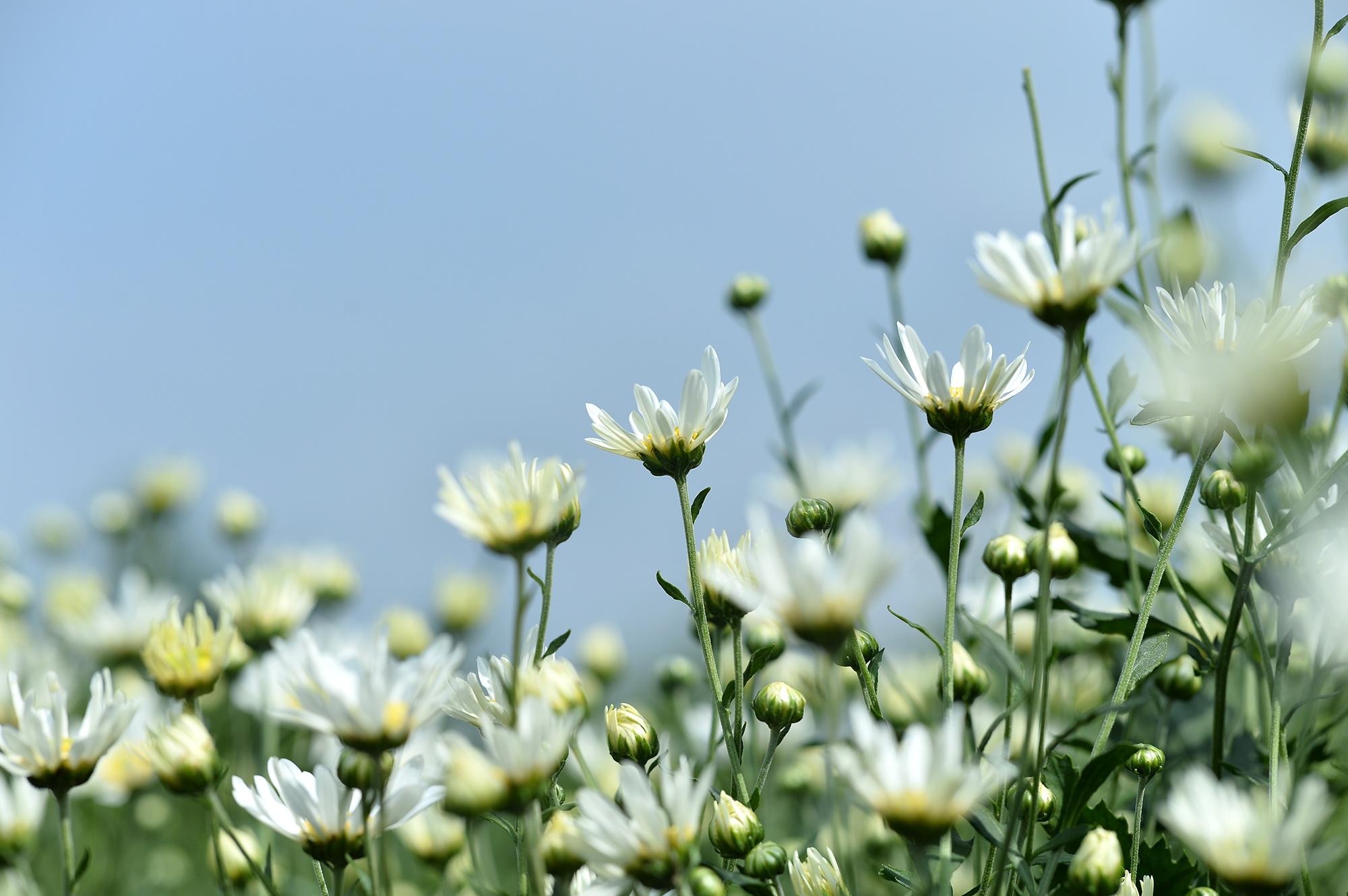 Xuyen xao mua cuc hoa mi don dong ve giua long Ha Noi hinh anh 27