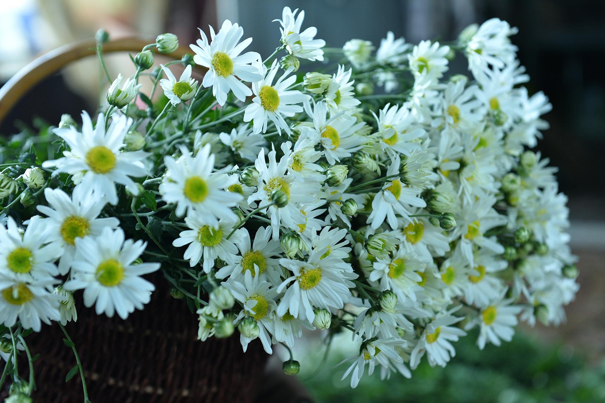 Xuyen xao mua cuc hoa mi don dong ve giua long Ha Noi hinh anh 28