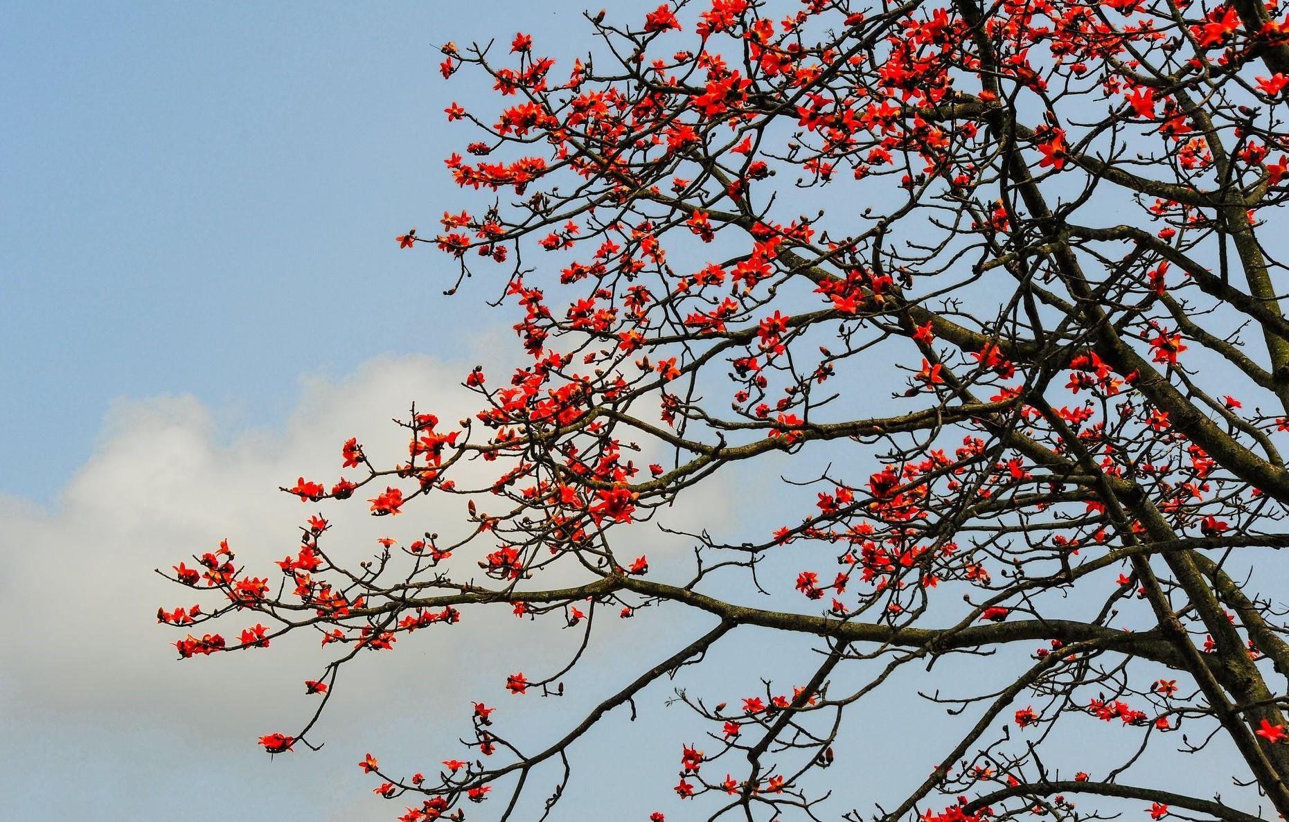Ngỡ ngàng trước cảnh sắc hoa gạo đỏ rực trời khắp mọi miền đất ...