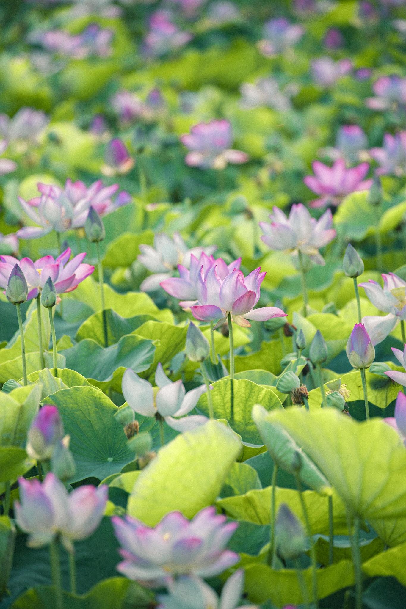 Cảnh đẹp ở cánh đồng sen Ninh Bình - Ảnh 16.