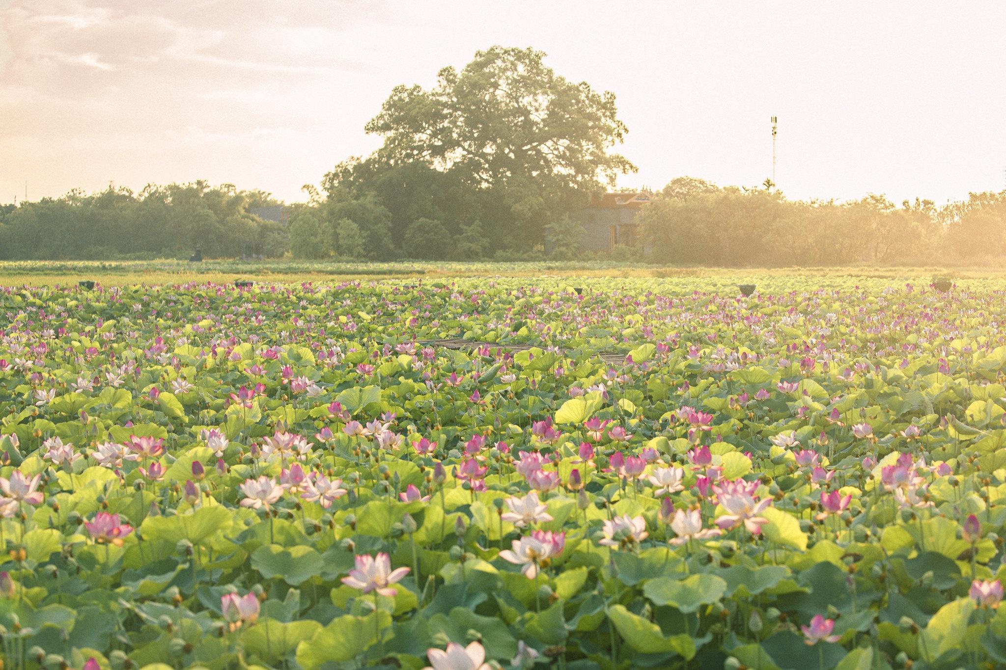 Cảnh đẹp ở cánh đồng sen Ninh Bình - Ảnh 22.