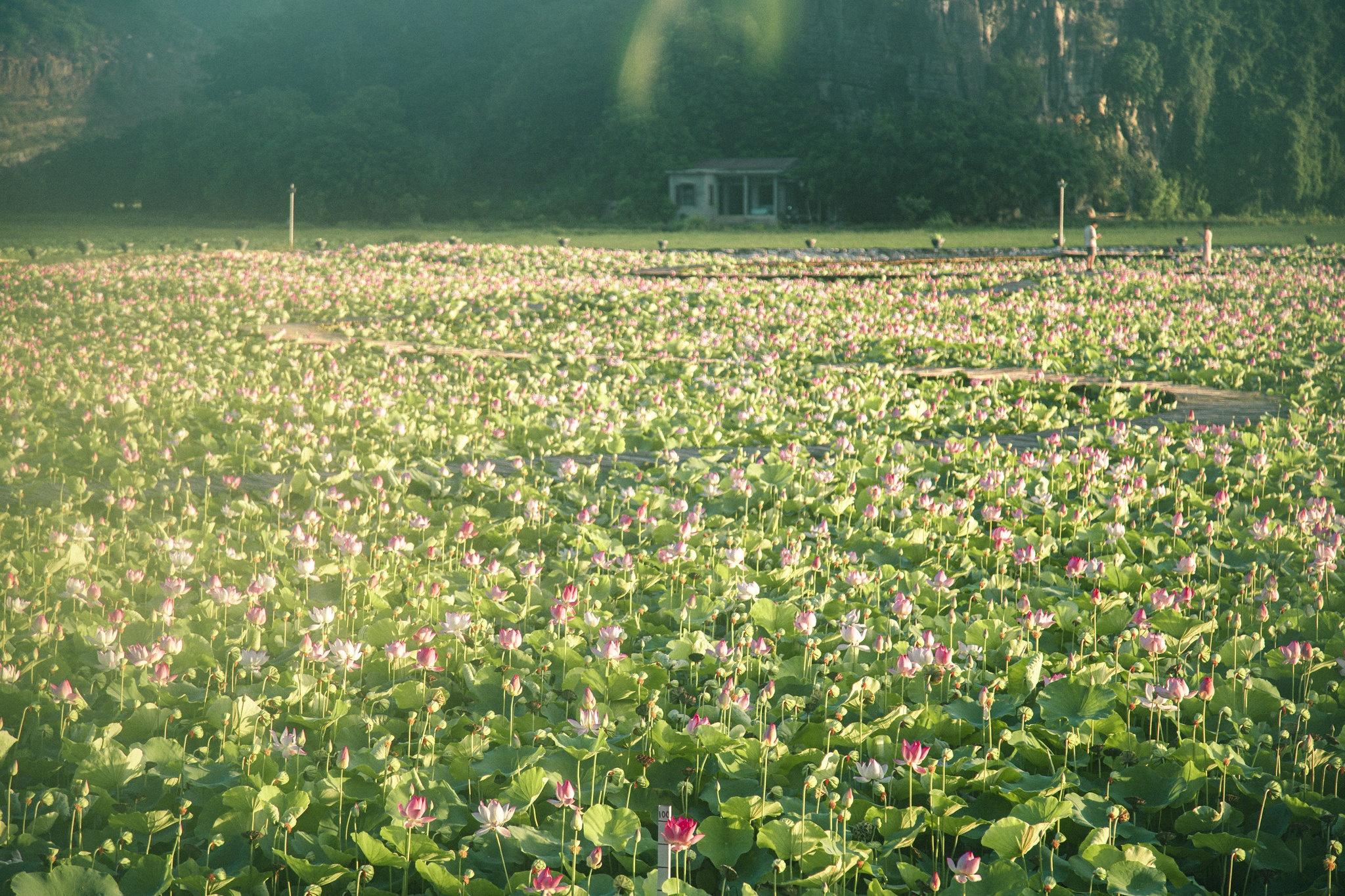 Cảnh đẹp ở cánh đồng sen Ninh Bình - Ảnh 21.