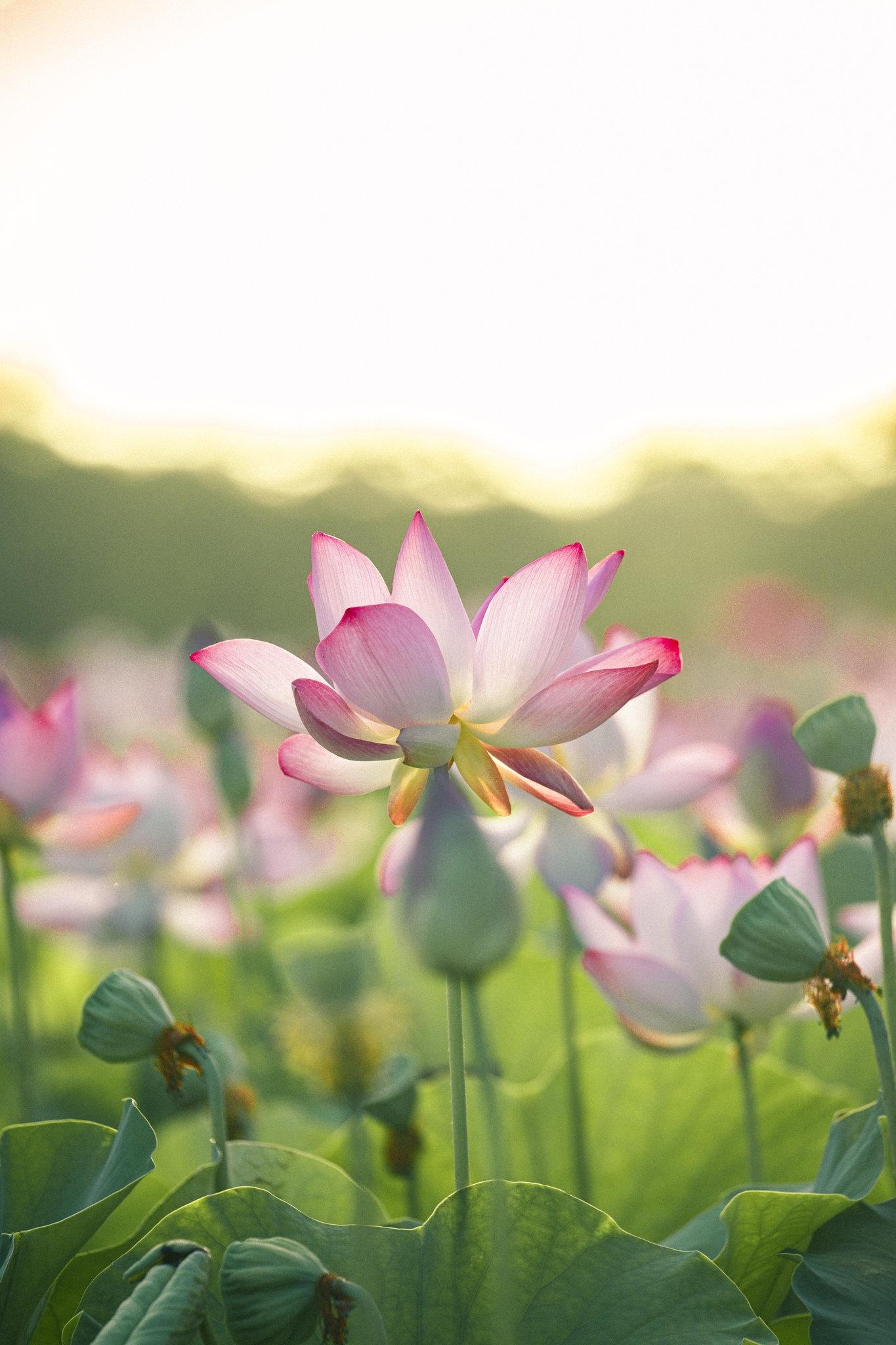 Cảnh đẹp ở cánh đồng sen Ninh Bình - Ảnh 23.