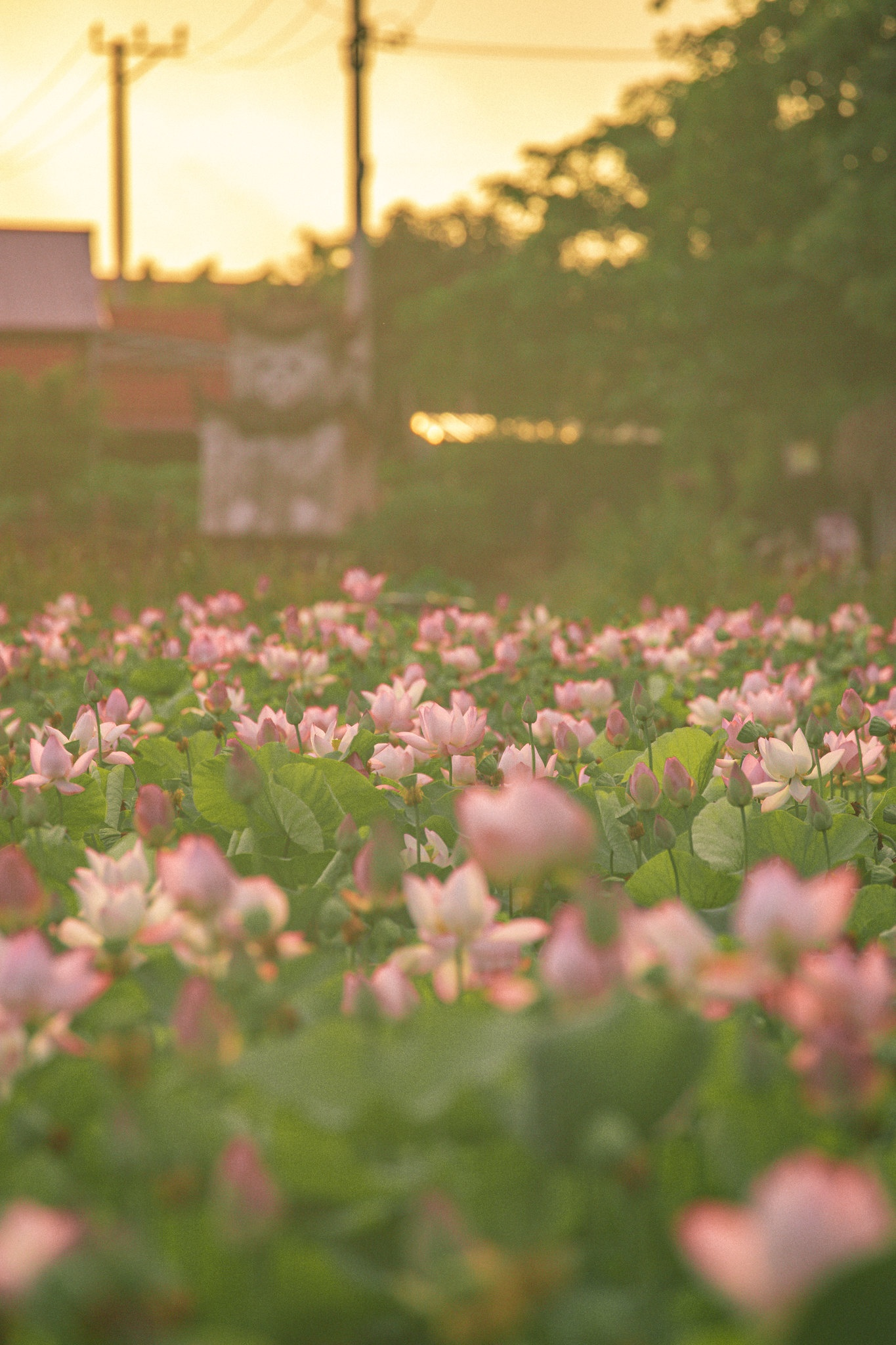 Cảnh đẹp ở cánh đồng sen Ninh Bình - Ảnh 24.