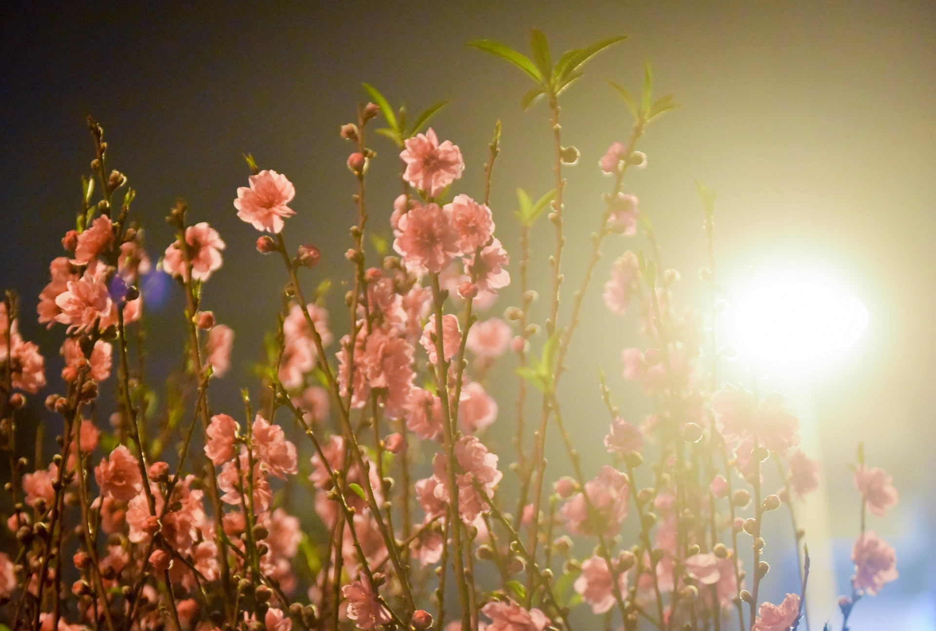 Canh an, ngu ban hoa Tet dem o Ha Noi, Sai Gon hinh anh 9