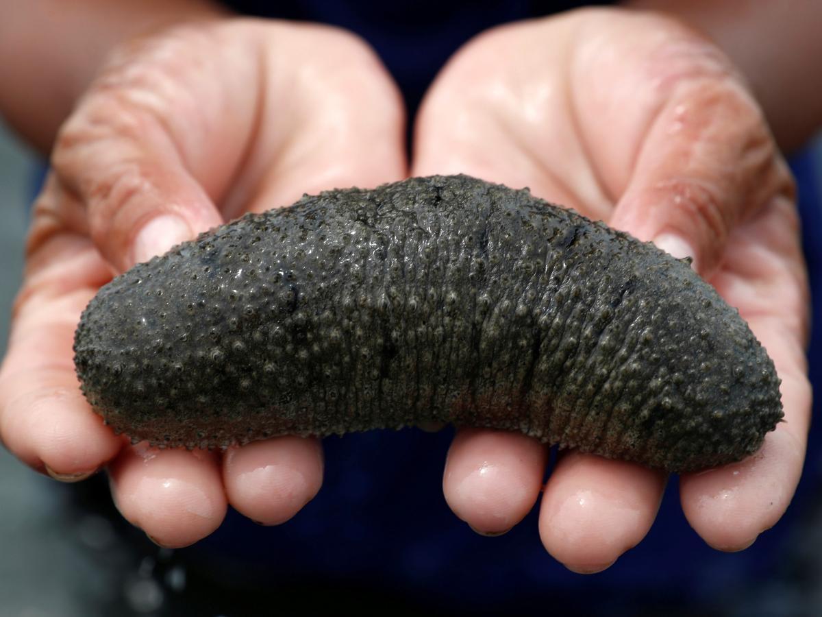 Hải sâm lâm nguy vì bị săn lùng làm thuốc kích dục