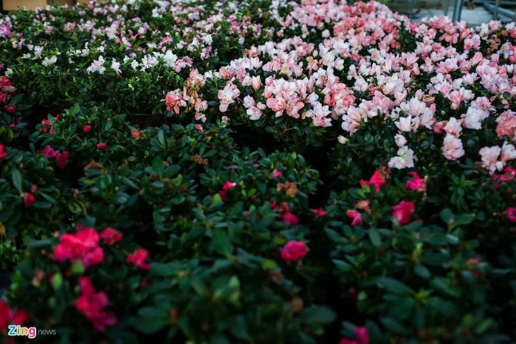 hoa kieng trung quoc lam le tran ve vua hoa lon nhat nam bo anh 4