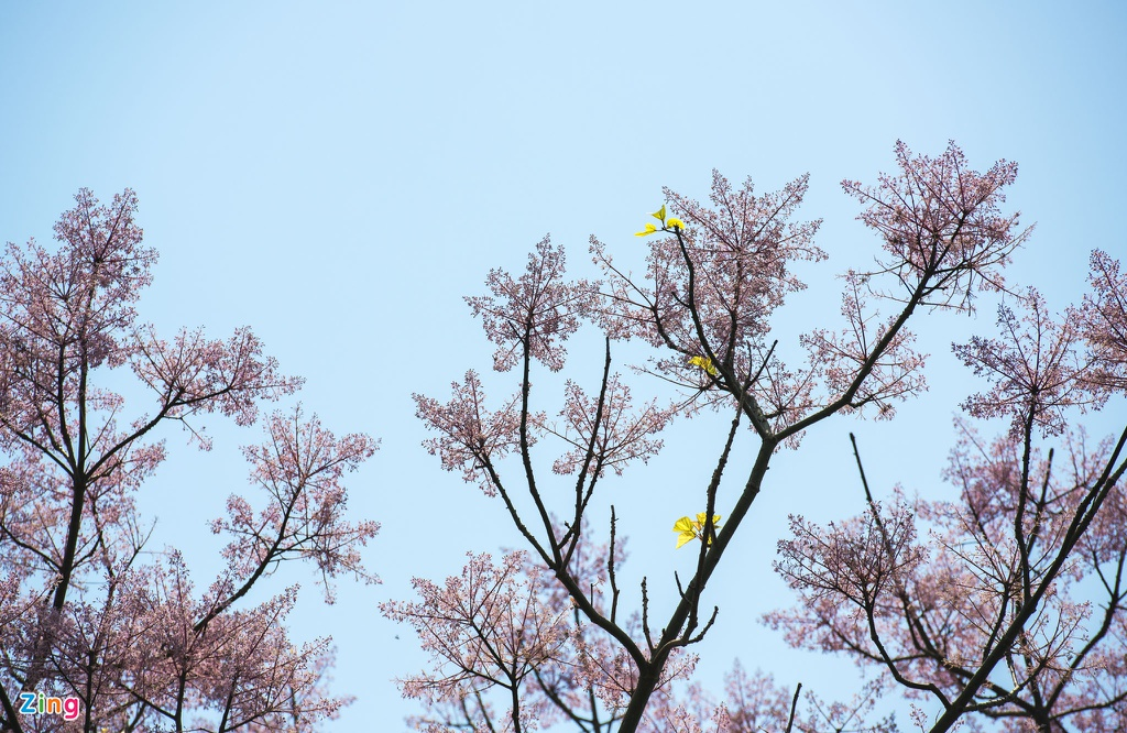 Ngo Dong - loai hoa trong cung vua dang no ro hinh anh 9