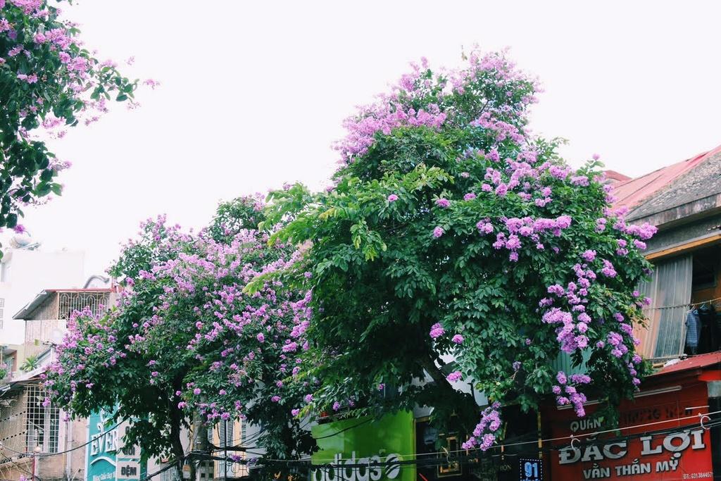 Den Hai Phong mua hoa phuong no hinh anh 4
