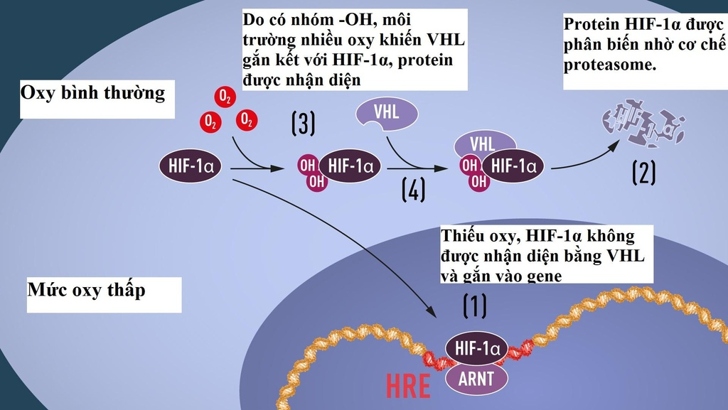 Nobel Y Sinh 2019 cho nghien cuu phan ung cua te bao khi oxy thay doi hinh anh 3