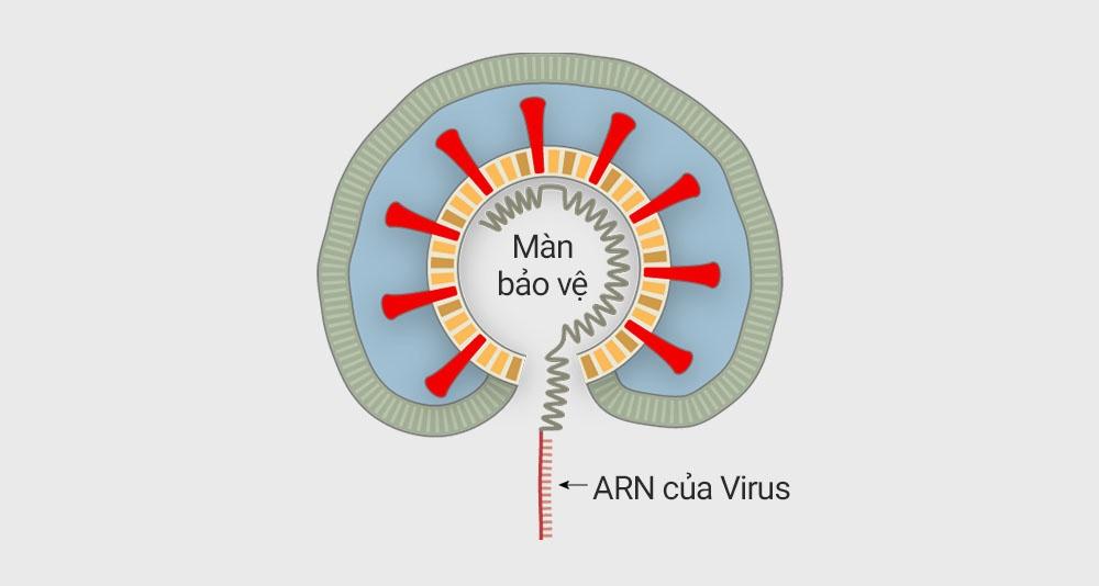 Hinh anh virus nCoV tung buoc bam va giet te bao duoi kinh hien vi hinh anh 6 NIAID_3.jpg