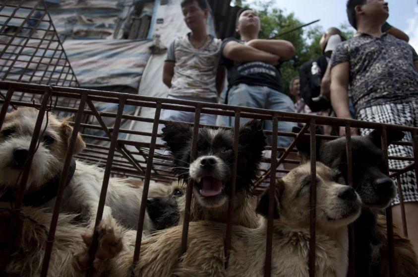 Truoc le hoi thit cho lon nhat TQ: Cho la thu cung, khong phai thuc an hinh anh 1 dog_meat_to_stop.jpg