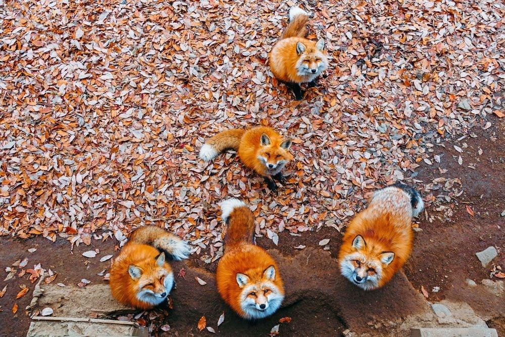 Làng hồ ly béo, lãnh địa mèo hoang độc đáo ở Nhật Bản