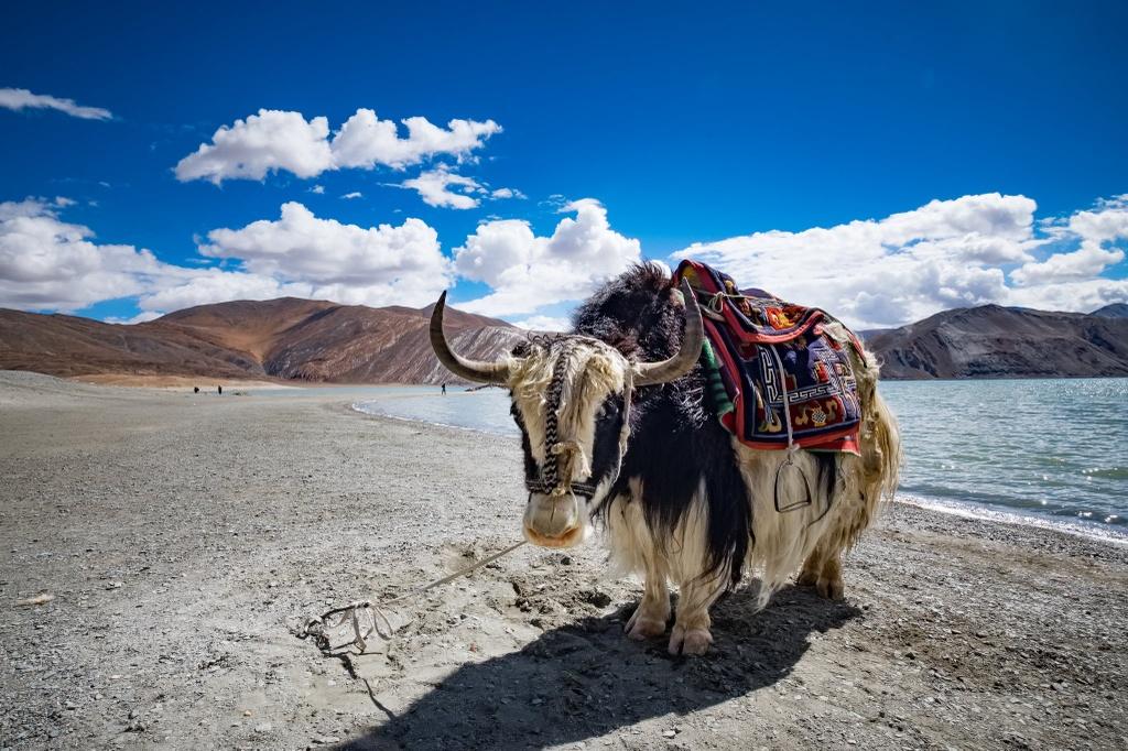 Loai bo bieu tuong Tay Tang nang 1.000 kg, chiu lanh am 40 do C hinh anh 7 Ride_Through_Tibet_Yak.jpg