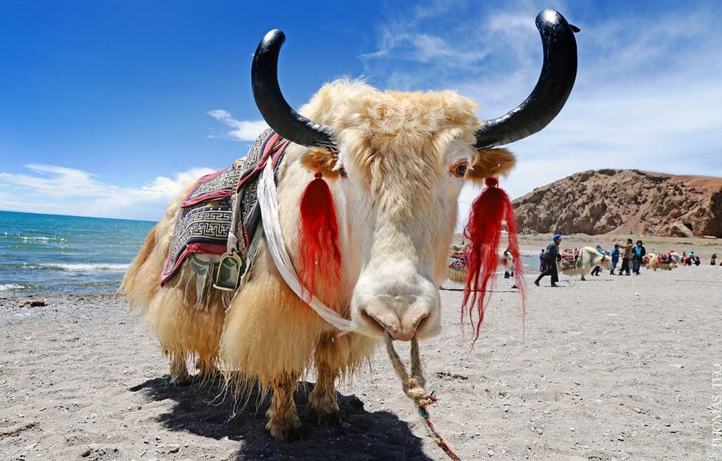 Loai bo bieu tuong Tay Tang nang 1.000 kg, chiu lanh am 40 do C hinh anh 8 tibet_yaks.jpg