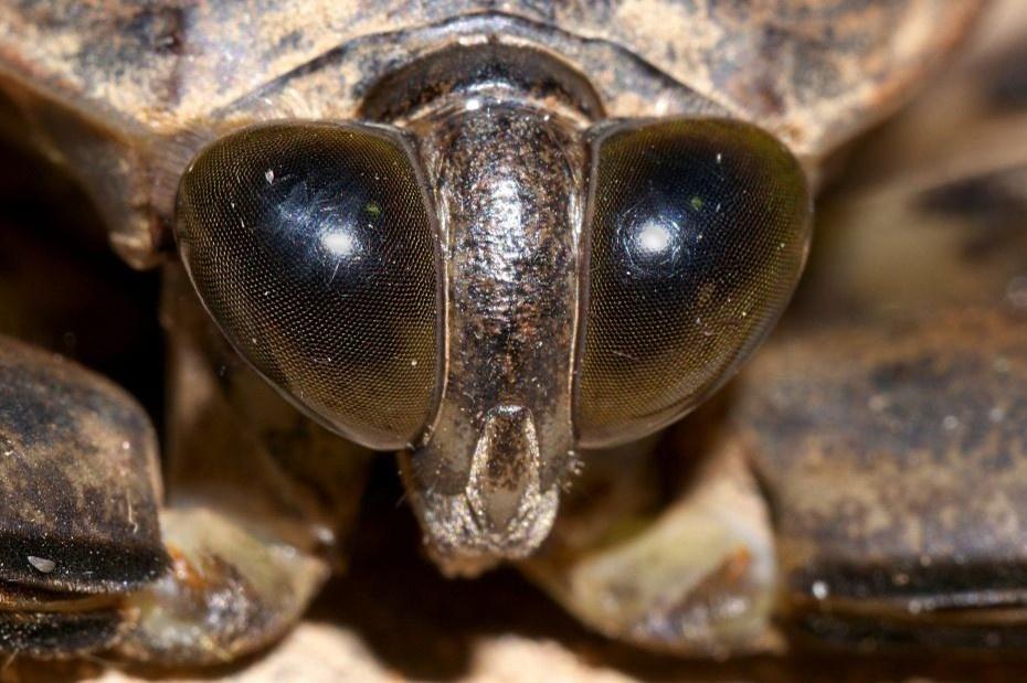 Món bọ nước khổng lồ không phải ai cũng dám thử ở Thái Lan