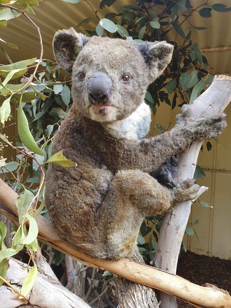 Dong vat Australia chet mon vi doi khat du song sot chay rung hinh anh 7 koala.jpeg