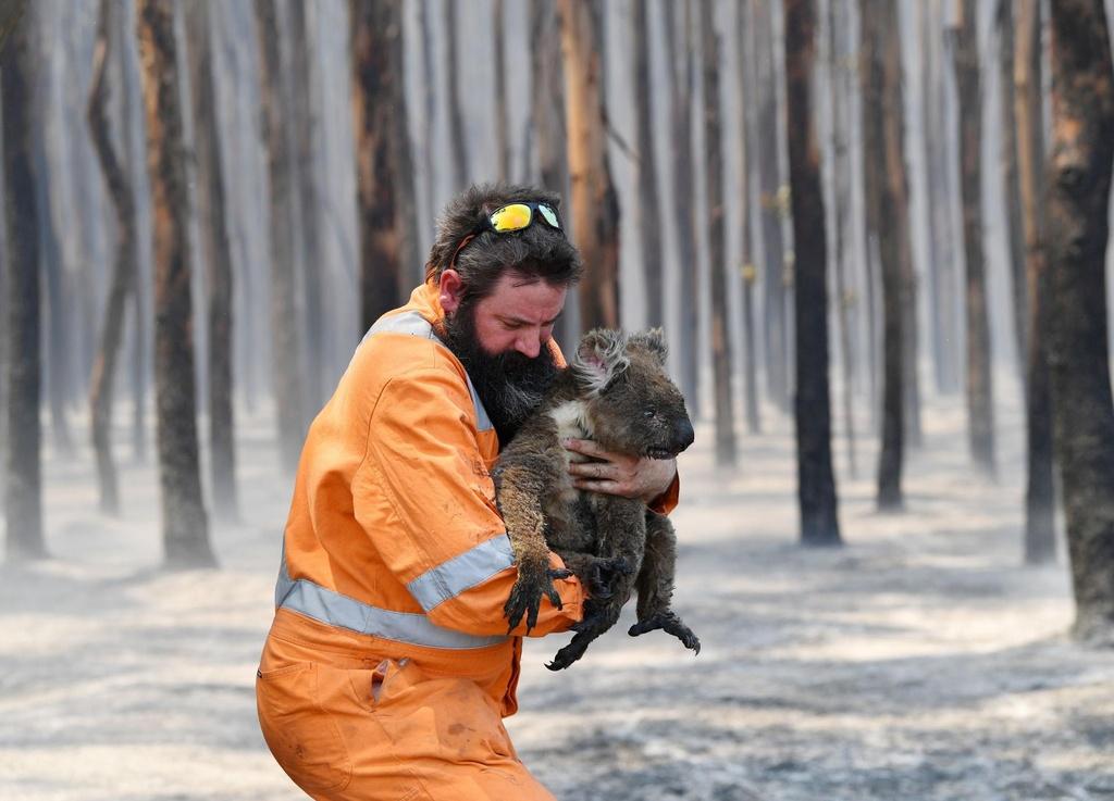 Giai cuu koala Australia va cho lac da Saudi vao top anh tuan hinh anh 1 koala.jpg