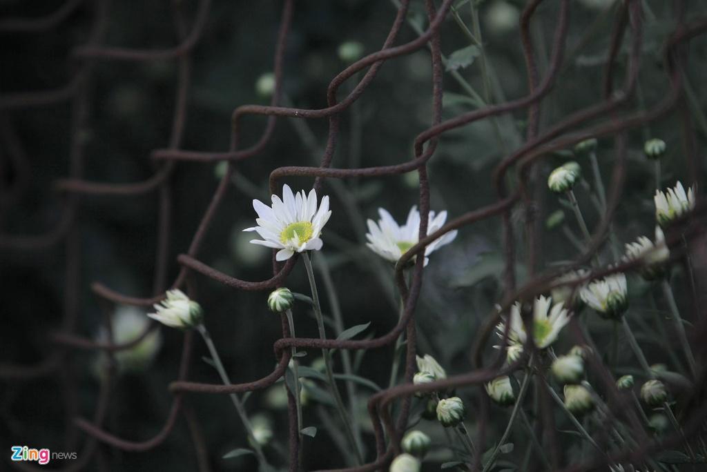 Cuc hoa mi no ro tu vuon ra pho hinh anh 6