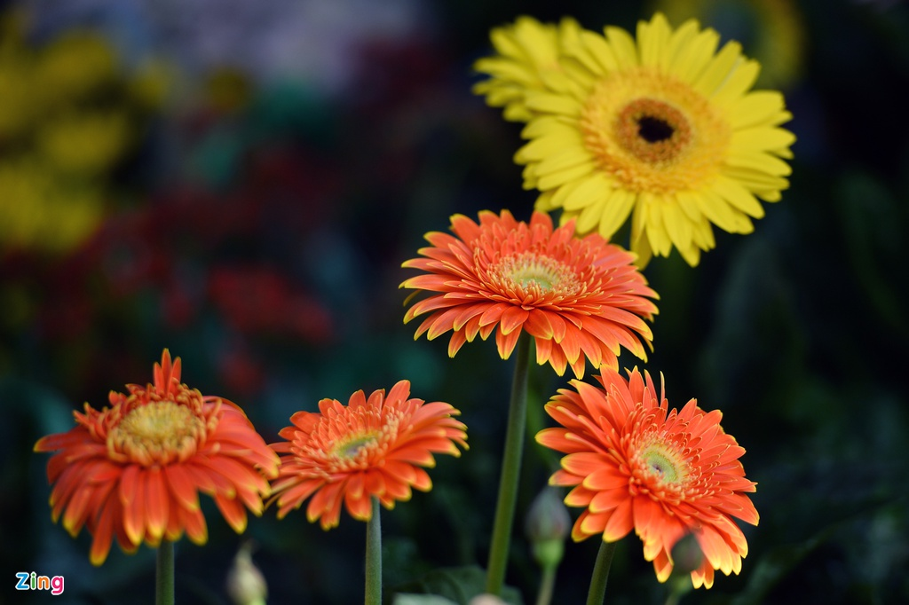 Ot Nhat, tulip Ha Lan o cho hoa, cay canh lon nhat Ha Noi hinh anh 9