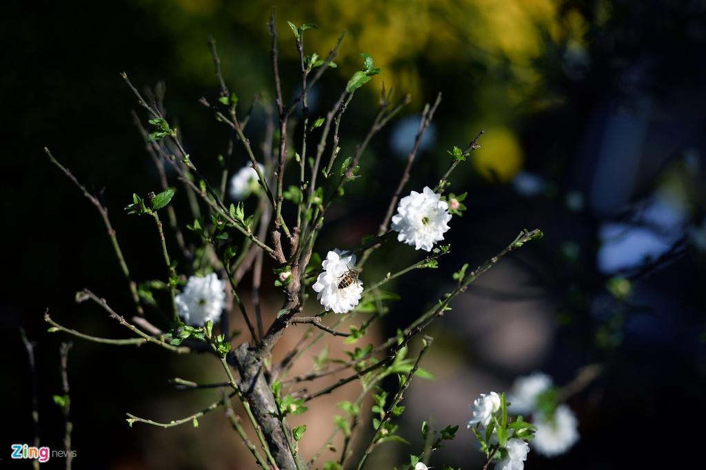 Ot Nhat, tulip Ha Lan o cho hoa, cay canh lon nhat Ha Noi hinh anh 19