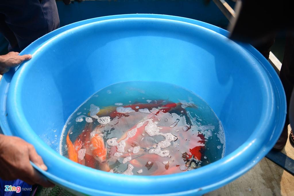 Thả hàng chục con cá Koi xuống sông Tô Lịch