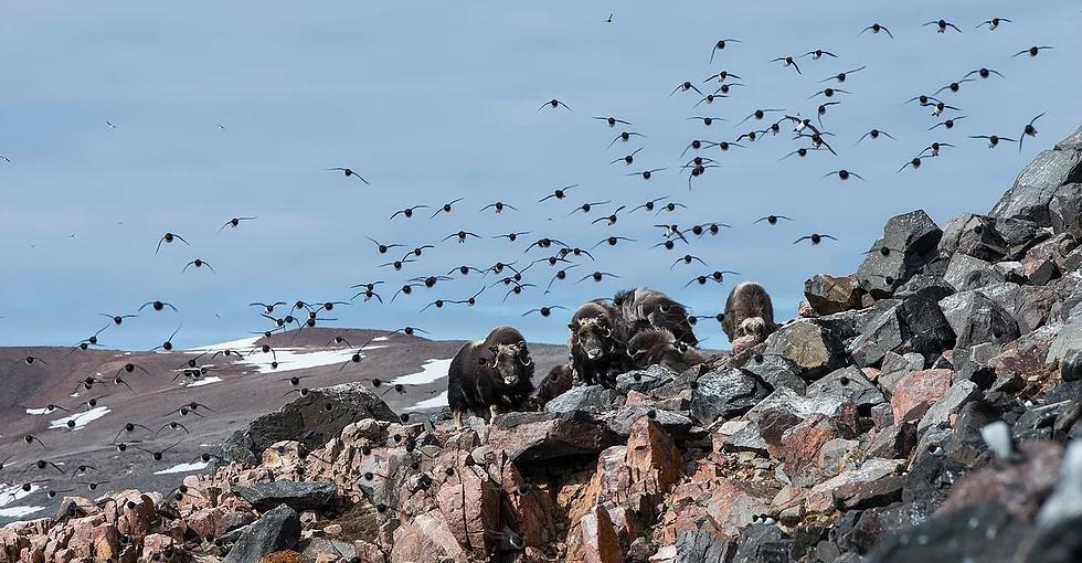 Bat chim bang vot de lam mon an boc mui kinh di o Greenland hinh anh 1