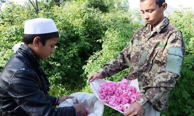 Trong hoa hong thay anh tuc, nong dan Afghanistan tan huong thanh cong hinh anh 2