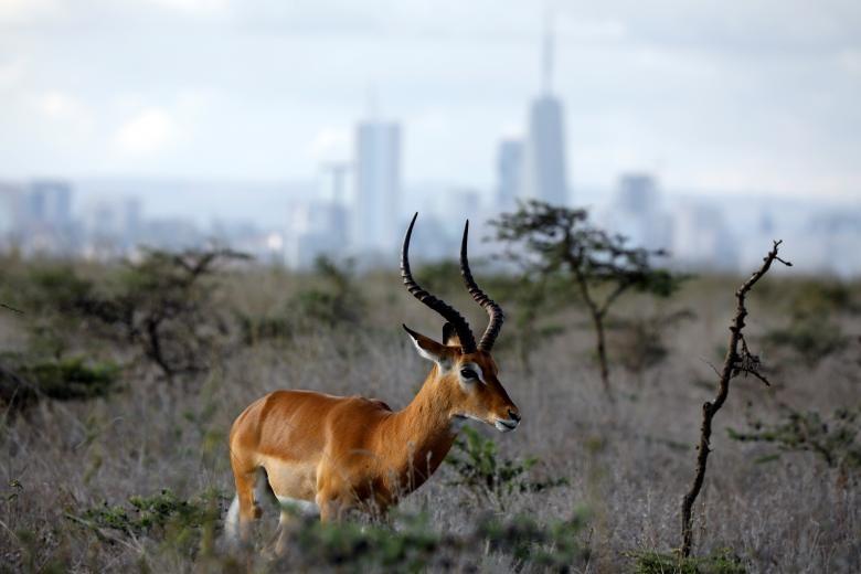 Nairobi - thu do duy nhat the gioi dong vat hoang da tu do di lai hinh anh 5
