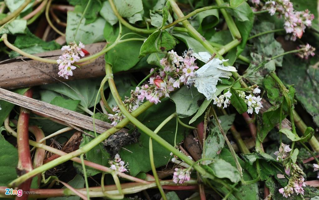 Canh tan nat o thung lung hoa sau khi mo cua mien phi hinh anh 3 Đặc biệt với tam giác mạch, loại hoa có thân mềm như rau cải thì chỉ cần dẵm một cái là nó thể đổ và nát.