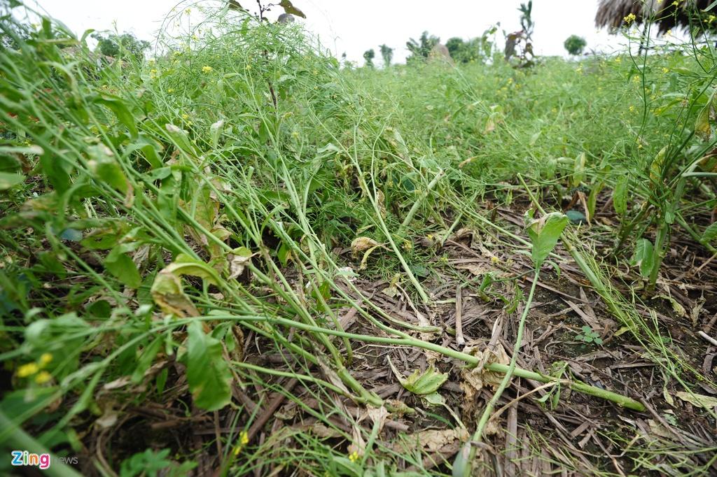 Canh tan nat o thung lung hoa sau khi mo cua mien phi hinh anh 5 Những ruộng hoa cải vàng cũng chịu chung số phận