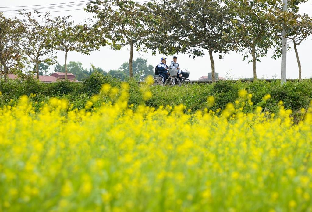 Dong hoa cai no ro o Ha Noi hinh anh 8 Bên cạnh đồng hoa cải quen thuộc, khu vực này mới trồng thêm một cánh đồng hoa nữa, ngay sát đường đi, cách Học viện Nông nghiệp khoảng 500m.