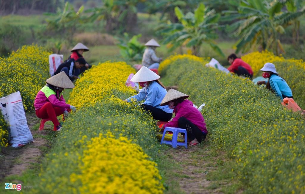 Lang hoa cuc ban theo can o Hung Yen hinh anh 4