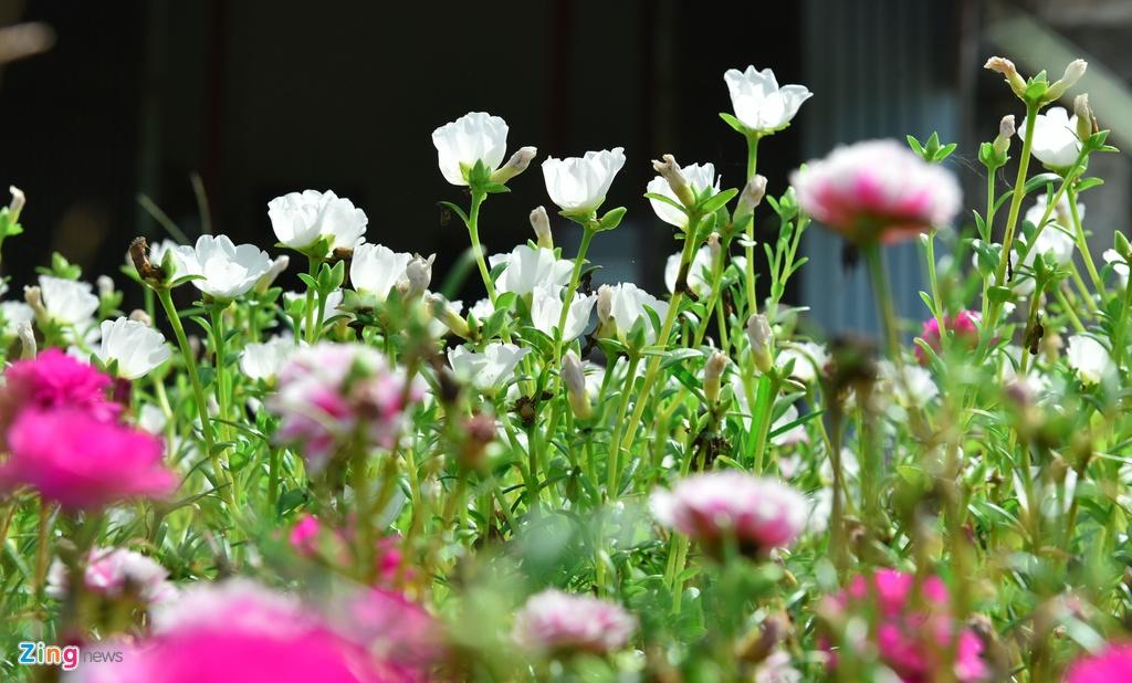 Duong hoa muoi gio doc dao nhat Ha Noi hinh anh 2