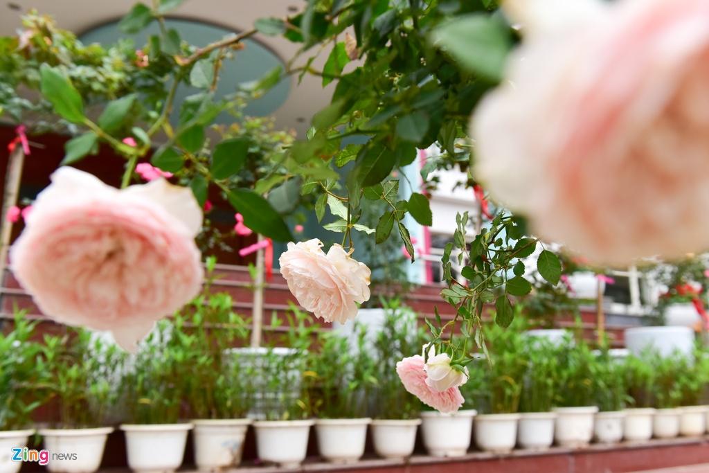 Hang nghin cay hoa hong Bulgaria khoe sac truoc le hoi hinh anh 12