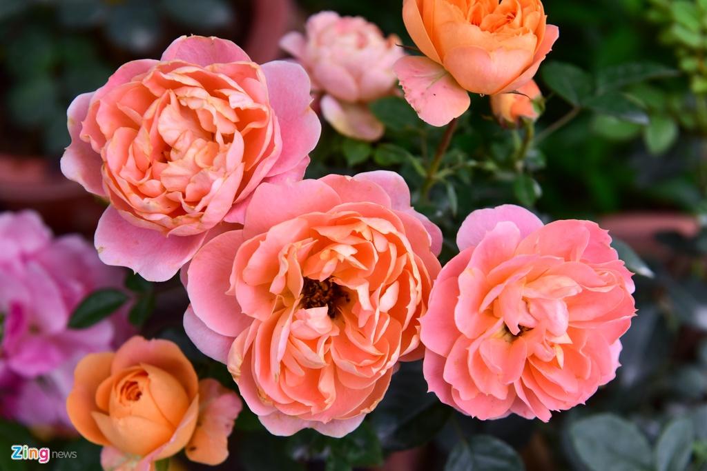 Hang nghin cay hoa hong Bulgaria khoe sac truoc le hoi hinh anh 3