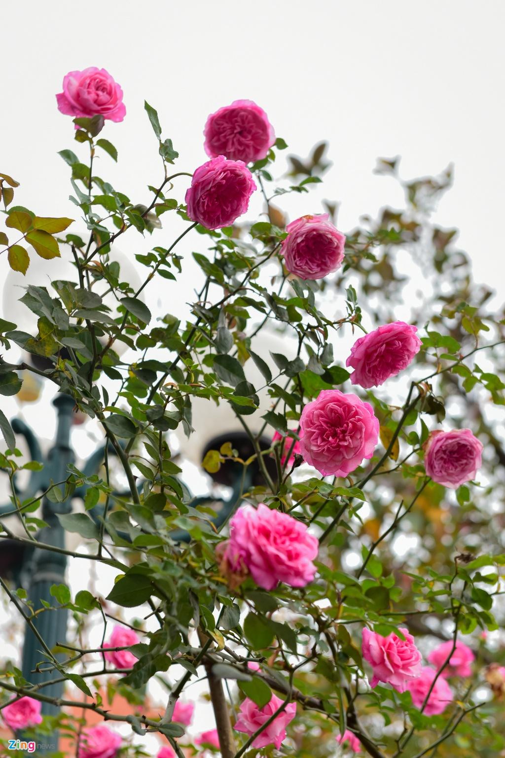 Hang nghin cay hoa hong Bulgaria khoe sac truoc le hoi hinh anh 4