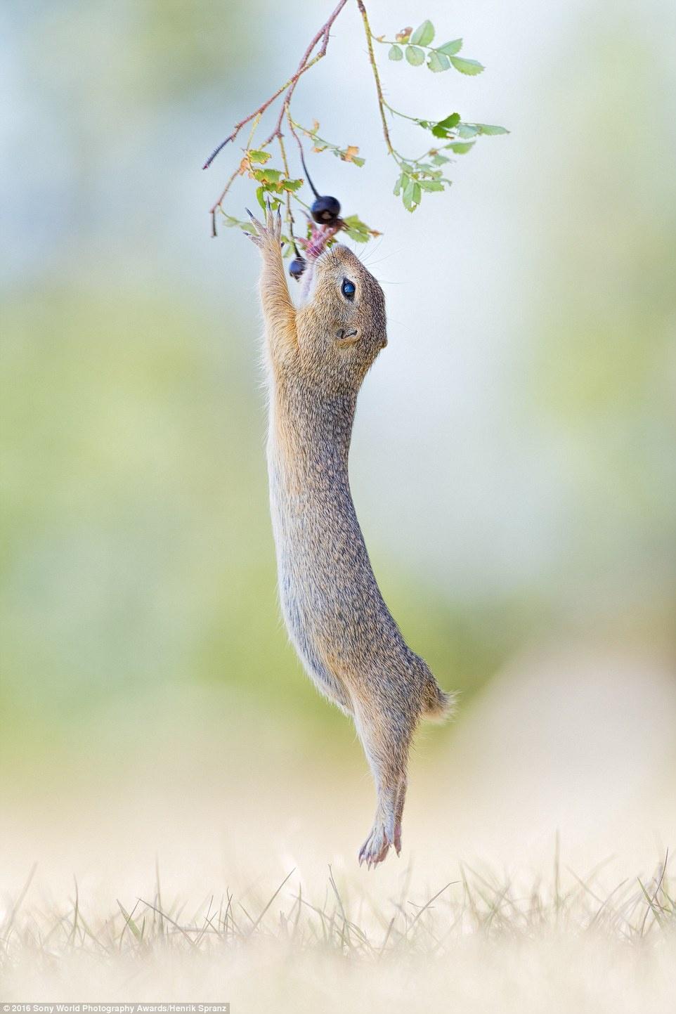 Anh khien du khach chi muon len duong hinh anh 10 Henrik Spranz (Đức) gửi ảnh một loài gặm nhấm đang nhảy lên với quả dâu rừng.
